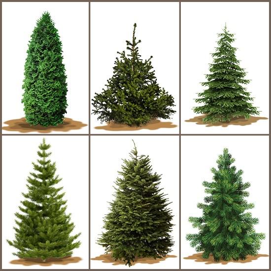 Varieties Of Christmas Trees Ladydowns Christmas Trees