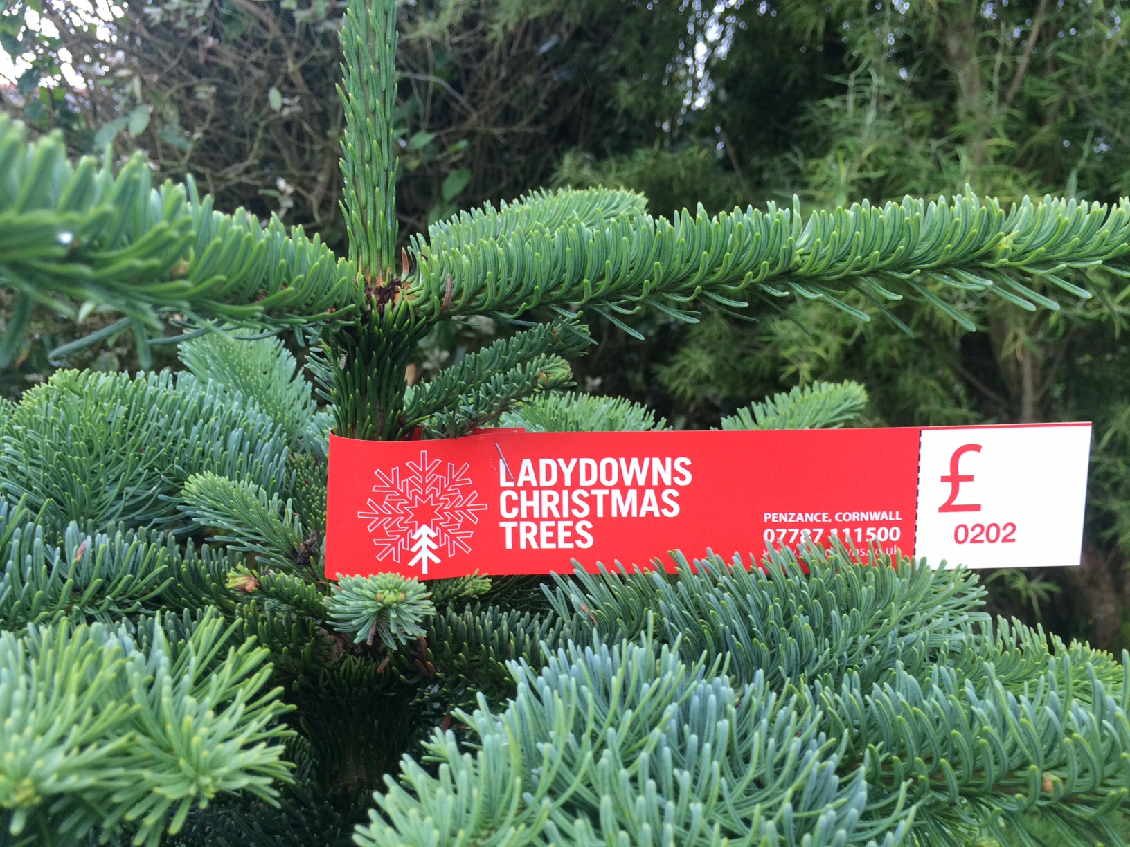 Christmas tree prices Penzance - Ladydowns Christmas Trees