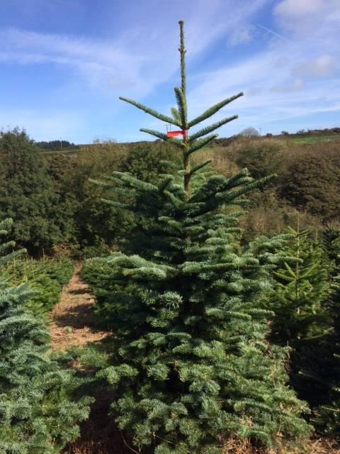 Noble fir Christmas trees Penzance