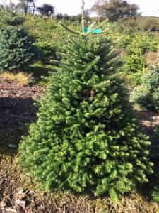 penzance christmas trees polgoon