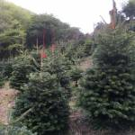cornish christmas trees