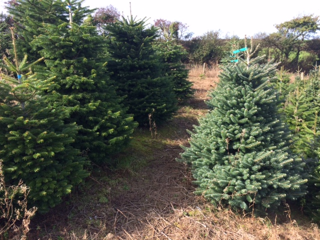 Locally-grown Christmas trees, Penzance