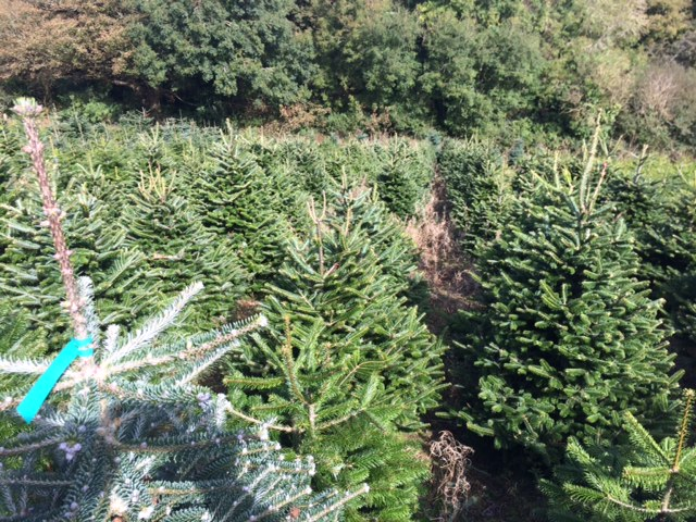 Christmas trees growing nicely