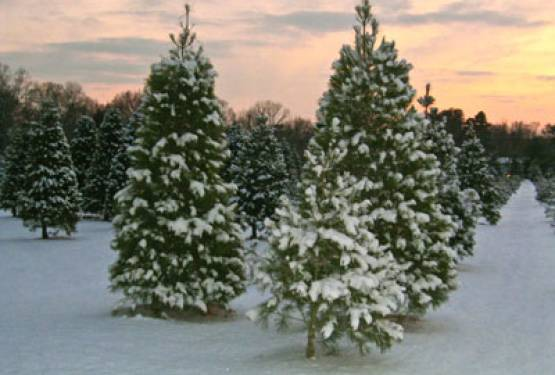 Members of the British Christmas Tree Growers Association