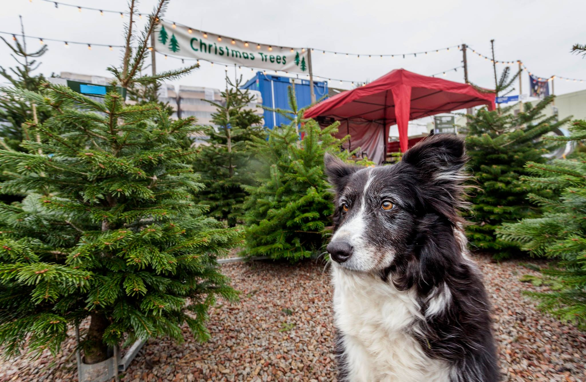 News from Ladydowns Christmas trees, Penzance, Cornwall