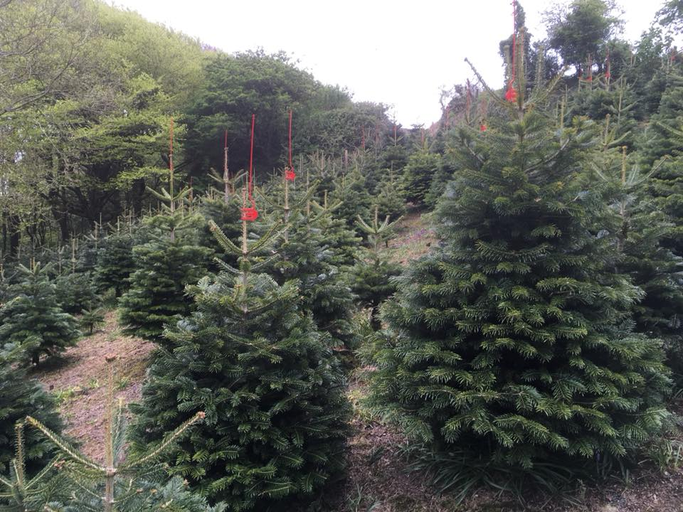 cornish christmas trees
