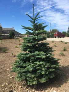 christmas trees hayle