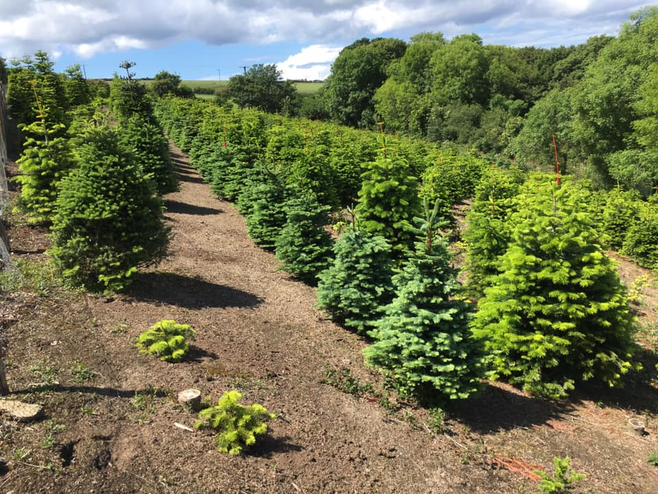 Summer and autumn at Ladydowns Christmas Trees, Cornwall
