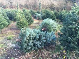 christmas trees for sale cornwall